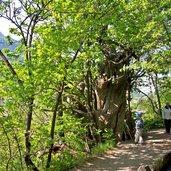 Kastanienbaum bei Algund