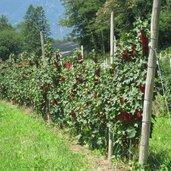 In den Wiesen wachsen Rote Johannisbeeren