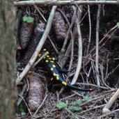 D-0753-feuersalamander-tattermandl.jpg