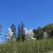 D-5243-bluehende-kirschbaeume-kirschbaum-fruehling-unteres-passeiertal.jpg