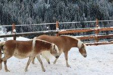 Haflinger Winter 2014
